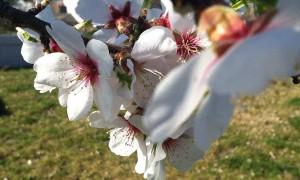 Wachauer Marillenblüte